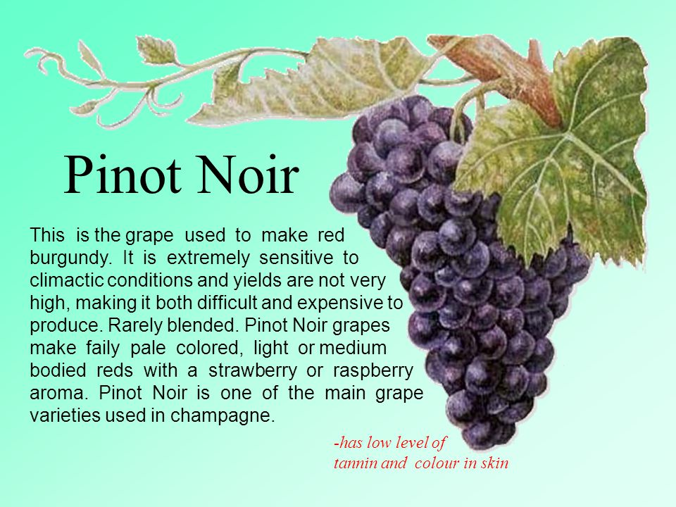 Pinot+Noir+This+is+the+grape+used+to+make+red