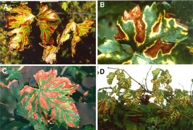 Fig-4-Foliar-symptoms-of-esca-first-appear-as-chlorotic-spots-that-subsequently