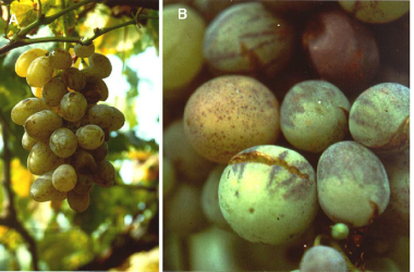 Fig-6-Spotting-of-grape-berries-black-measles-Minute-dark-brown-or-purple-spots-on