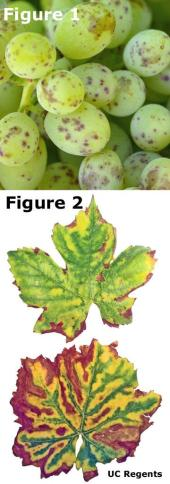 Measles on grapes