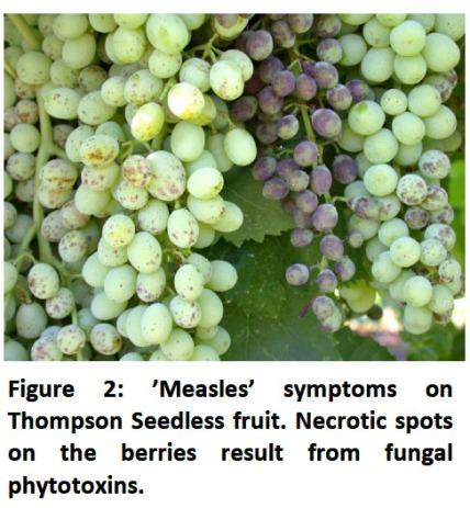 vine lines fig 2