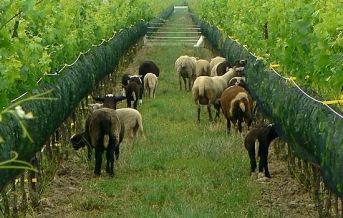 green_commitment_sheep