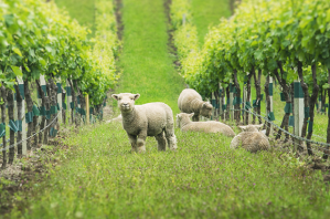 Yealands_babydoll-Sheep_004-630x417