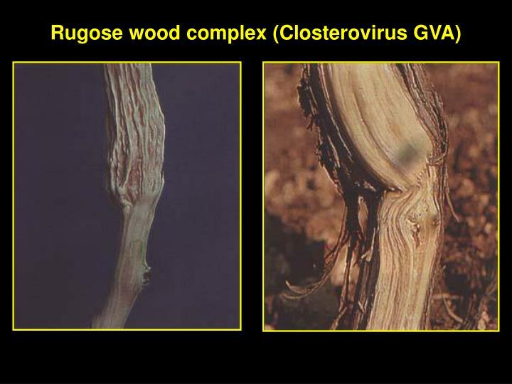 rugose-wood-complex-closterovirus-gva4-n (1)